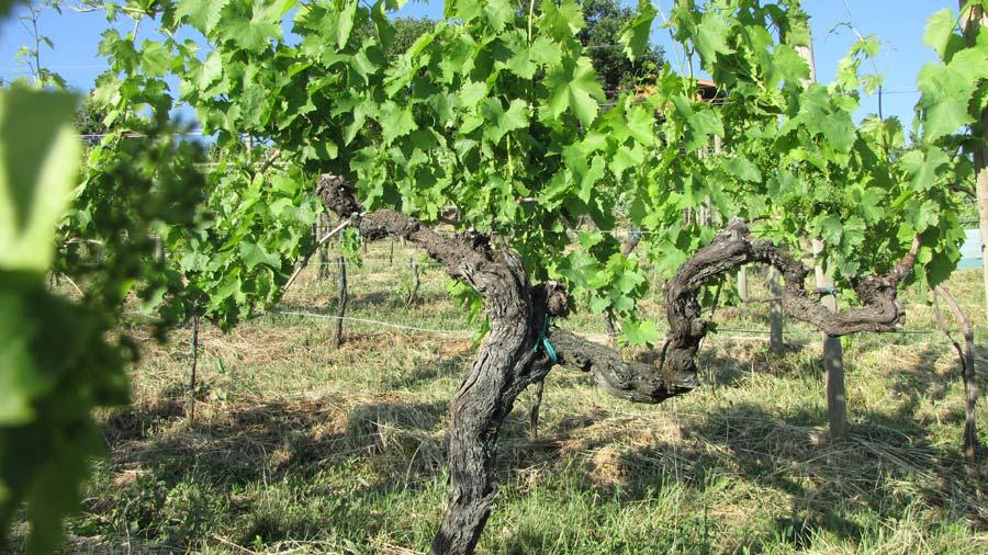 Il-Carpino-Wineyard-1